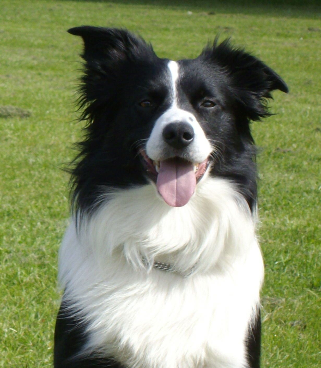 Border Collie puppies easy to training. Learn clicker