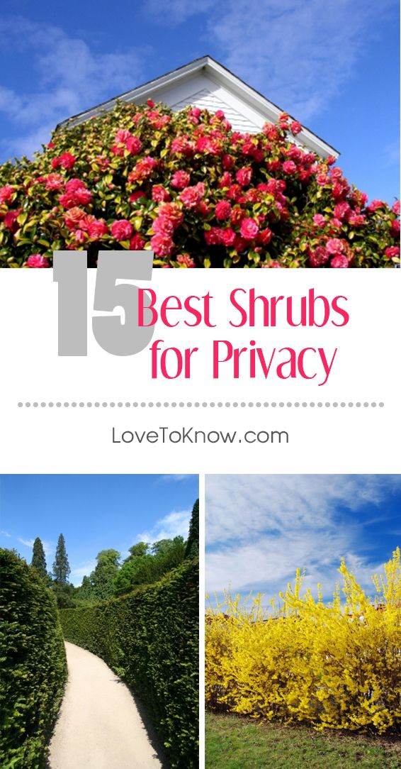 Best Shrubs for Privacy #privacylandscaping