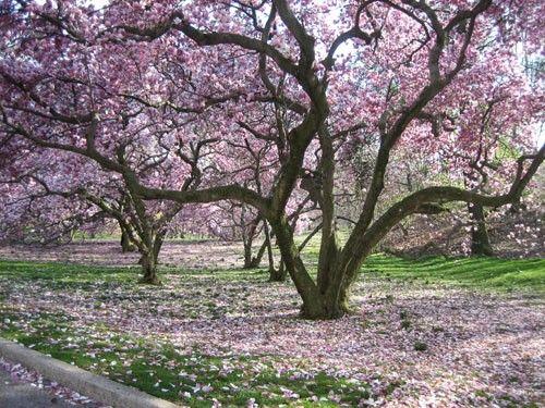The Prettiest Trees Magnolia Trees Tulip Magnolia Dream Garden