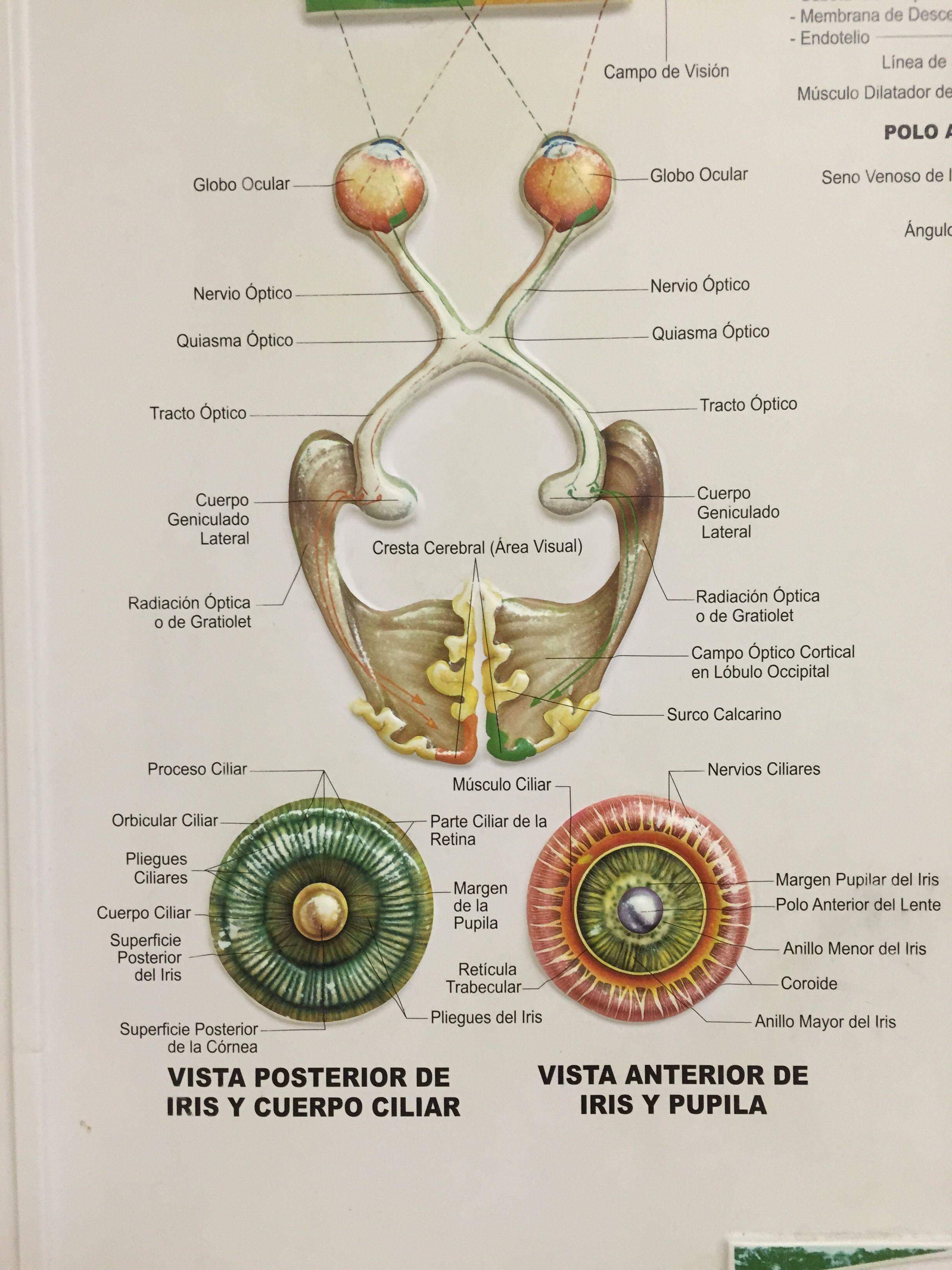 Lujoso Diagrama De Cuerpo Músculo Imagen - Anatomía de Las ...