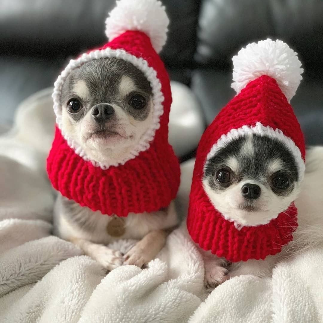 They are so adorable xD chihuahua Cute baby animals