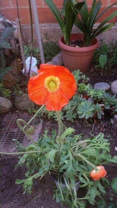 Il mio papavero fiorito. ..