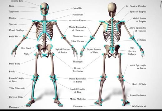 This is a great picture of the human skeleton.This can be a great reference for artists.😉😉