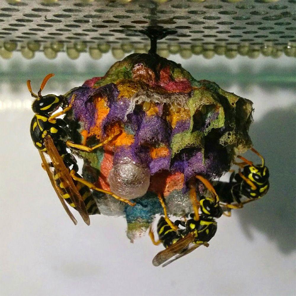 他把一些彩色紙提供給黃蜂蓋蜂窩,過沒多久出現的超美麗建築物看起來太夢幻了!% 照片