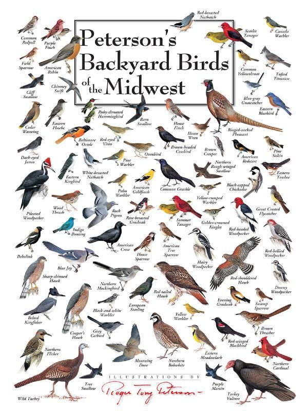 Petersons's backyard Birds of the Midwest, 550 pieces ...