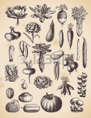 Large Collection Of Vintage Vegetable Illustrations Vegetable Illustration Illustration Vegetable Drawing