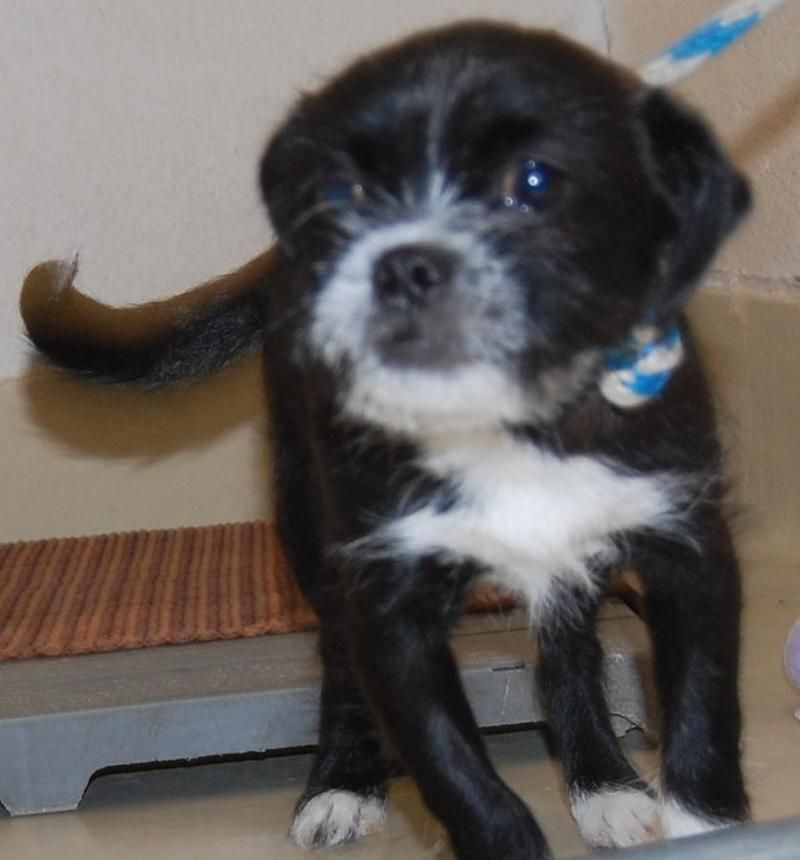 Terrier Mix Puppy Terrier Mix • Young • Male • Small San