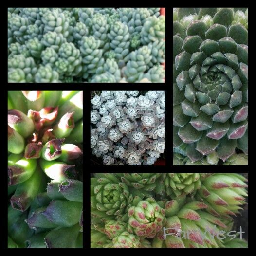 Succulents hardy in Boise, Idaho. They love as much sun as possible ...