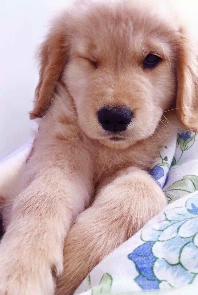 Sandy Golden Retriever 4 Y O Golden Retriever Abingdon Service Dogs