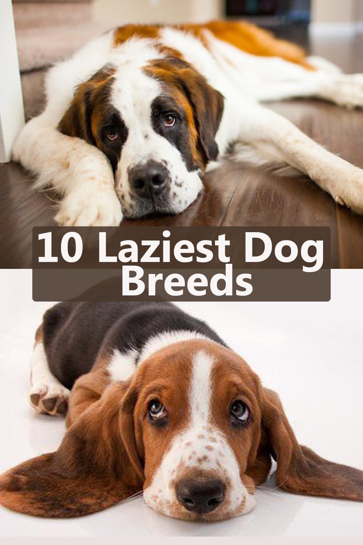 10 Laziest Dog Breeds | Lazy dog breeds