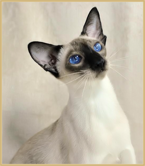 Lilac Point Wedge Head Siamese Kitten Siamese Cats Siamese Cats Blue Point Cats
