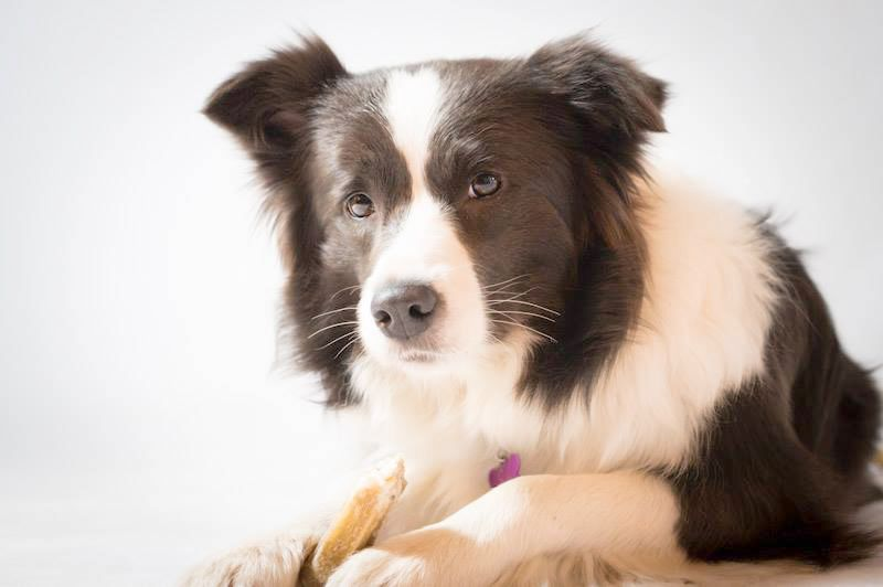 Border Collie Photo Border Collie Border Collie Dogs Collie