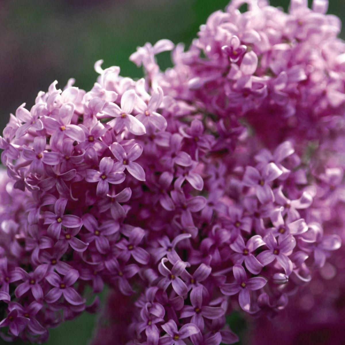 Persian Lilac Nature Hills Nursery Syringa Lilac Plants