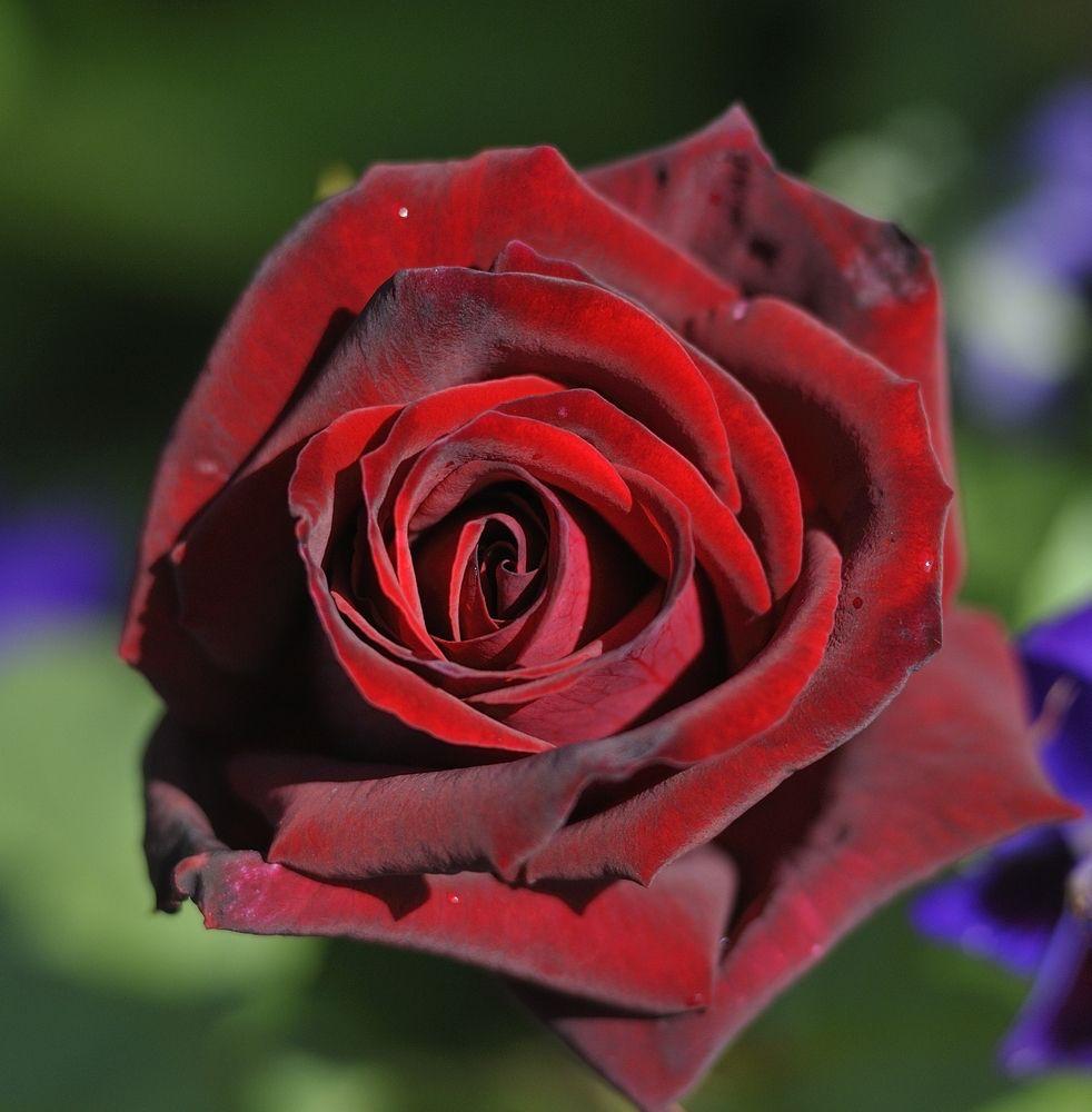 Rose uthe timesu photo jason ingram rose gardens pinterest