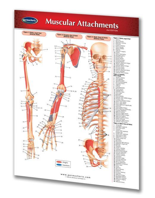 Muscular Attachments Medical Quick Reference Guide Anatomy