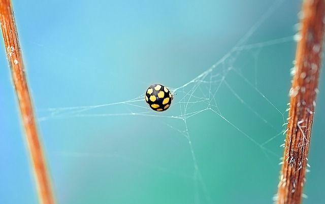 Ilmainen kuva Pixabayssa - Leppäkerttu, Kovakuoriainen