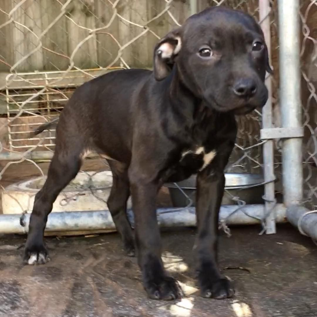 Pin On American Pit Bull Terrier