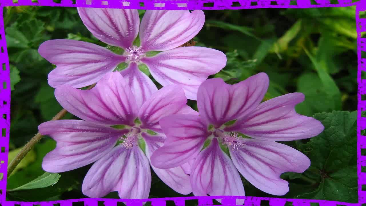 Planta Malva Para Que Sirve Como Preparar Malva Para Baños De Asiento Https Youtu Be Wxgtrlzlc4u Plants Mauve Flowers