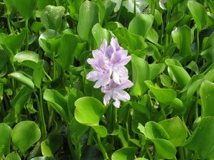 This project will test and document the effectiveness of composting in destroying water hyacinth and its seeds.