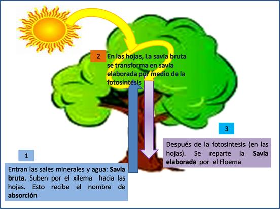 Mientras Que El Floema Transporta La Savia Elaborada Que Es Aquellas Sustancias Liquidas Que La Planta Produce En La Foto Savia Elaborada Circulacion Plantas