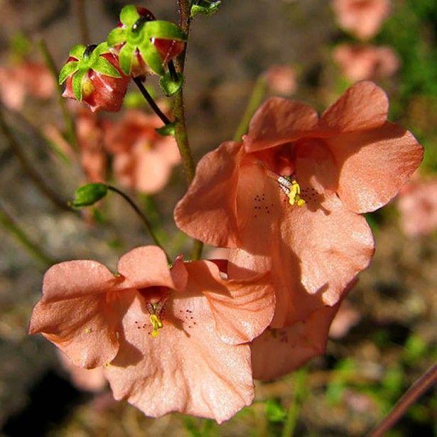 Diascia barberae Blackthorn Apricot - Une longue floraison abricot ...