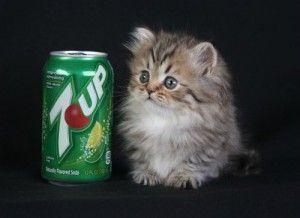 Rug Hugger Kittens For Sale Teacup Cats Persian Kittens For Sale Persian Kittens