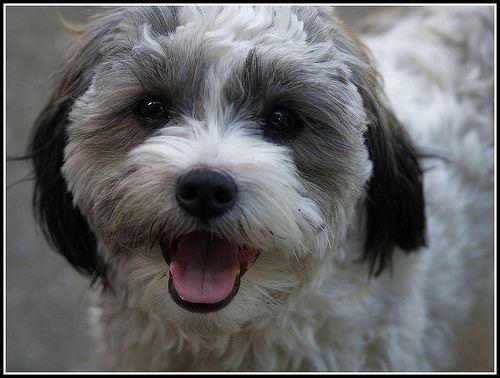 Shih Poo Shih Poo Dogs Cute Baby Dogs