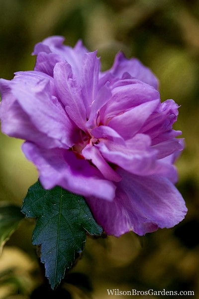 Buy Purple Rose of Sharon Hibiscus - FREE SHIPPING - Althea For Sale Online From Wilson Bros ...