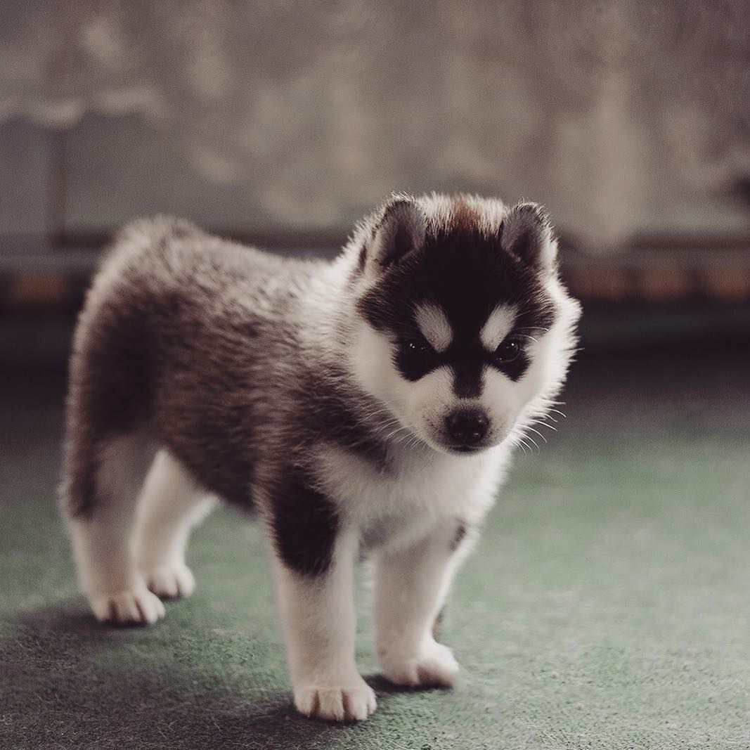 All The Husky Puppies You Could Ever Want In One Instagram Account