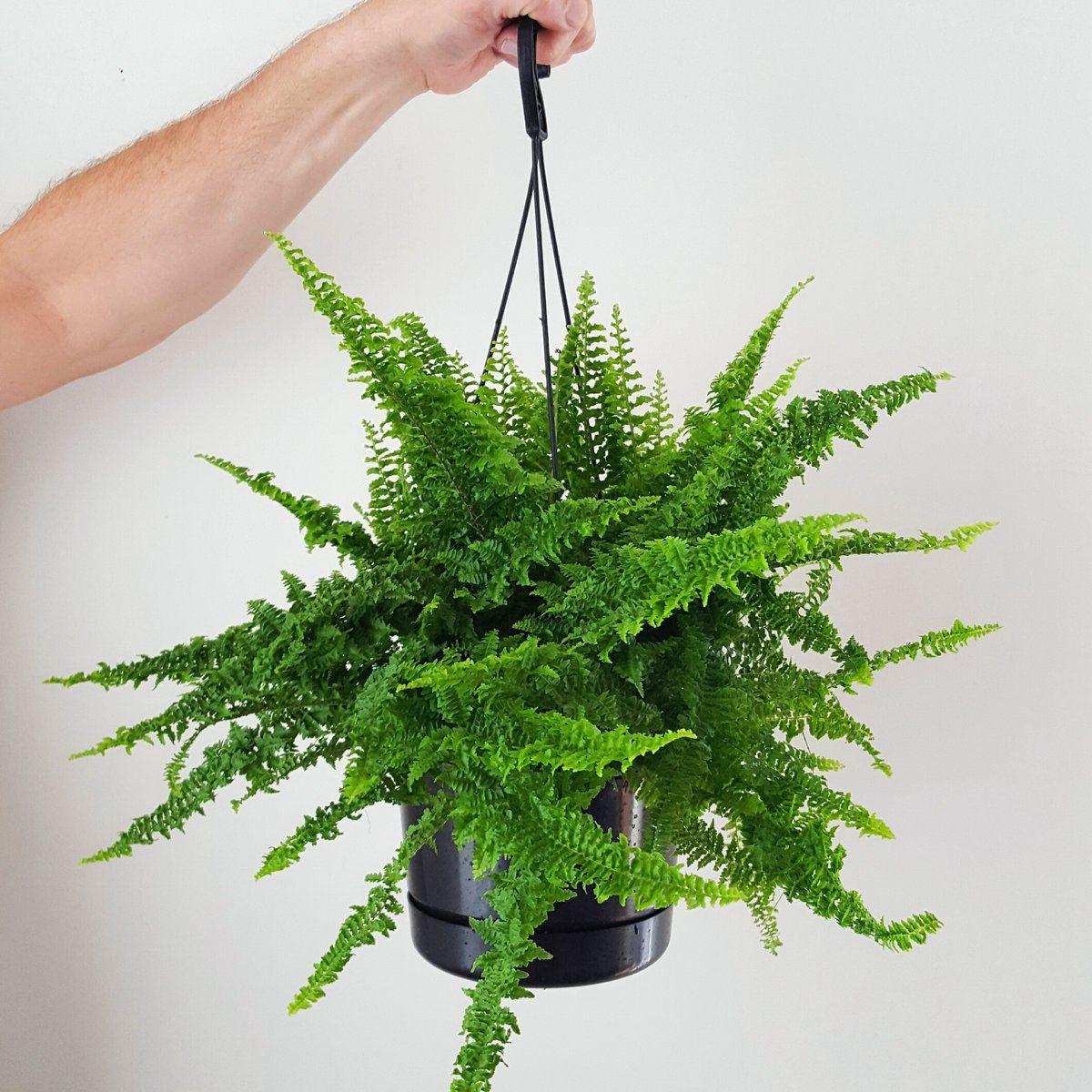 Boston Fern 'Fluffy Ruffles'   Boston ferns, Indoor plant ...
