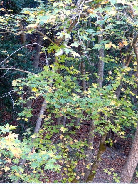 Acer macrophyllum, Big Leaf Maple California native