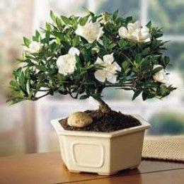 Gardenia Bonsai Bonsai Tree Gardenia Plant Bonsai