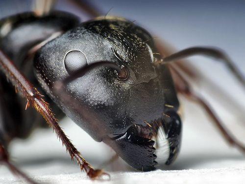 Head Of A Black Carpenter Ant Camponotus Pennsylvanicus Fourmis Insectes Macrophotographie