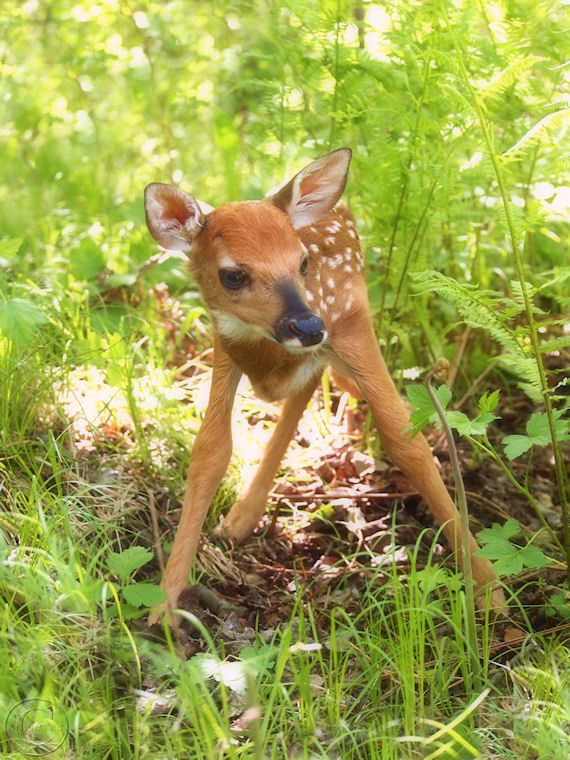 Fawn Whitetail Deer Nature Photography Home Decor Cabin Decor