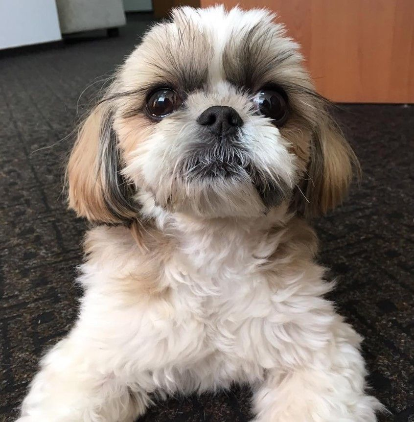 25 foods your shih tzus should never eat the paws shih