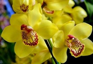Wallpaper Orchid Flower Bright Yellow Desktop Background Hd Free Photography Photo Flowers Wallpapers Wallpape Yellow Orchid Orchids Blue Orchid Flower