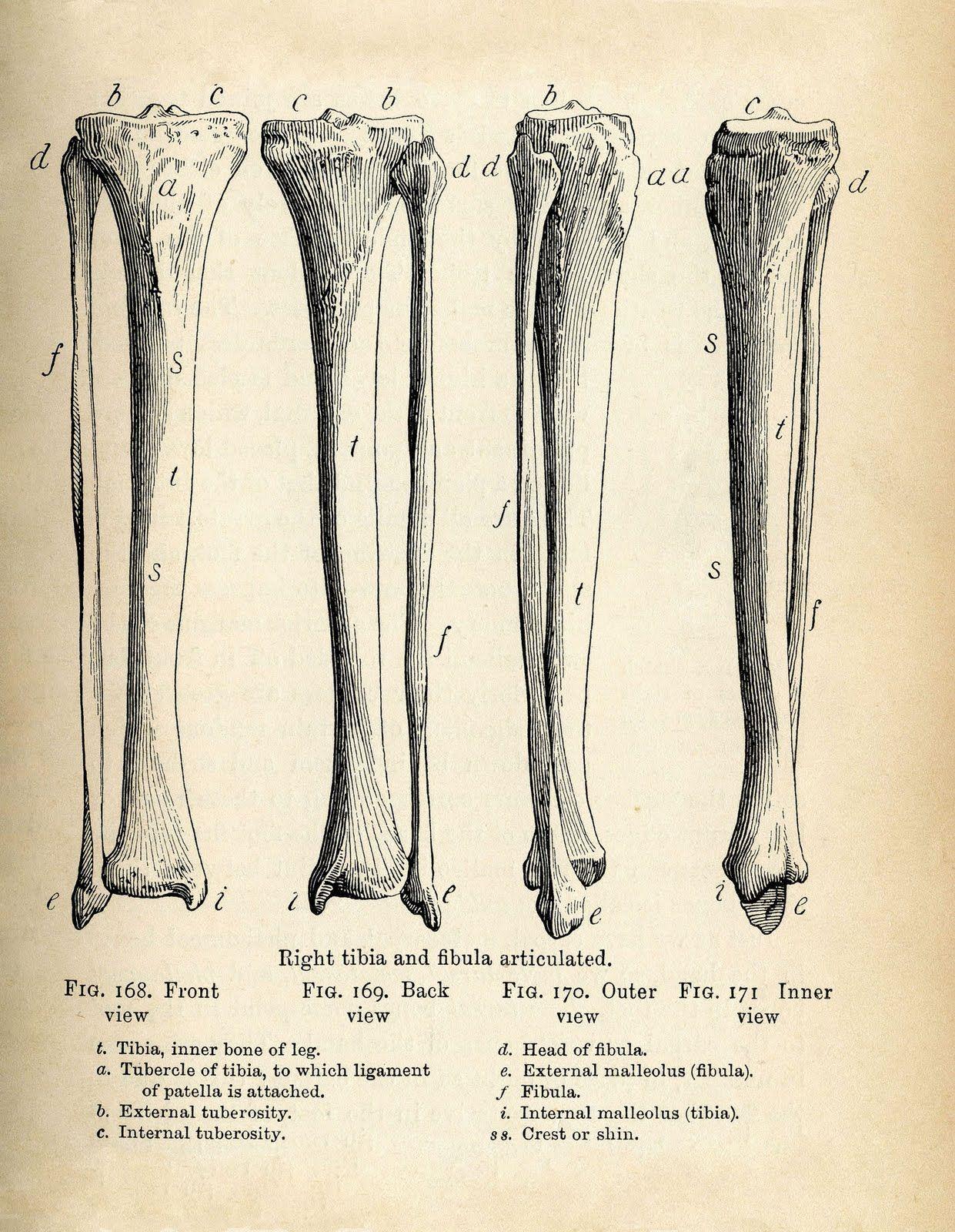 Vintage Anatomy Clip Art - Bones & Skull - Halloween
