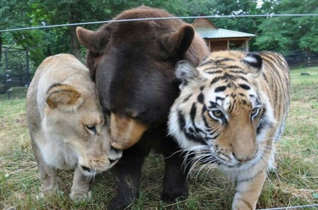 The BLT ... Leo the African Lion,  Baloo the Black Bear,  and Shere Khan the Bengal Tiger at Noah's Ark Animal Sanctuary