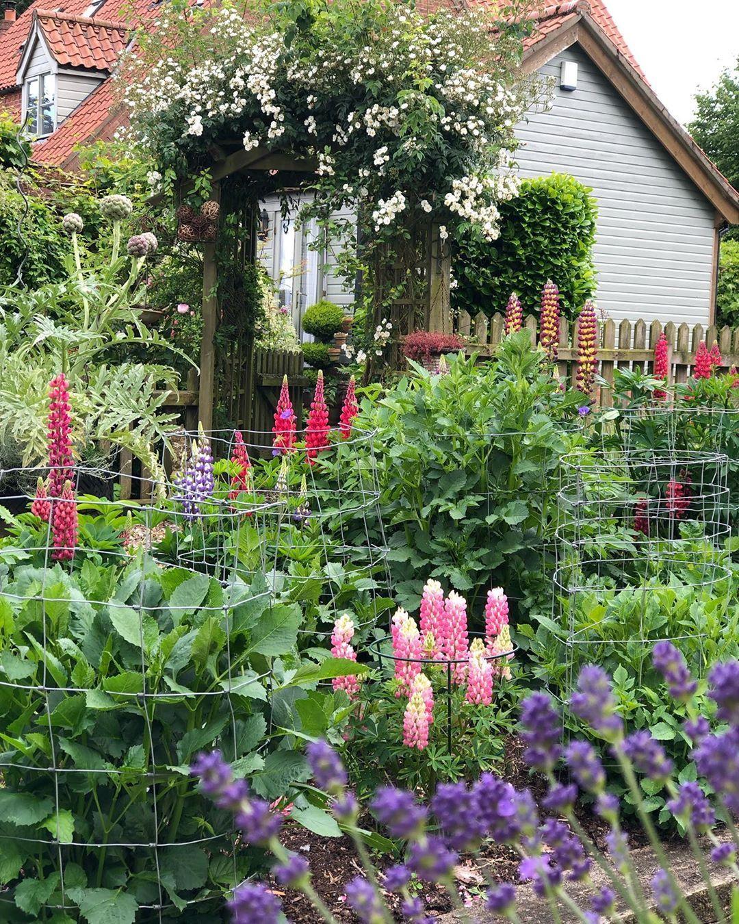 "Mo on Instagram: ""Lupin love ... 😍 . . . . . . . #lupin #homesandgardens #houseandgarden #countrygarden #gardenalia #instagarden #lovemygarden #gardener…"""