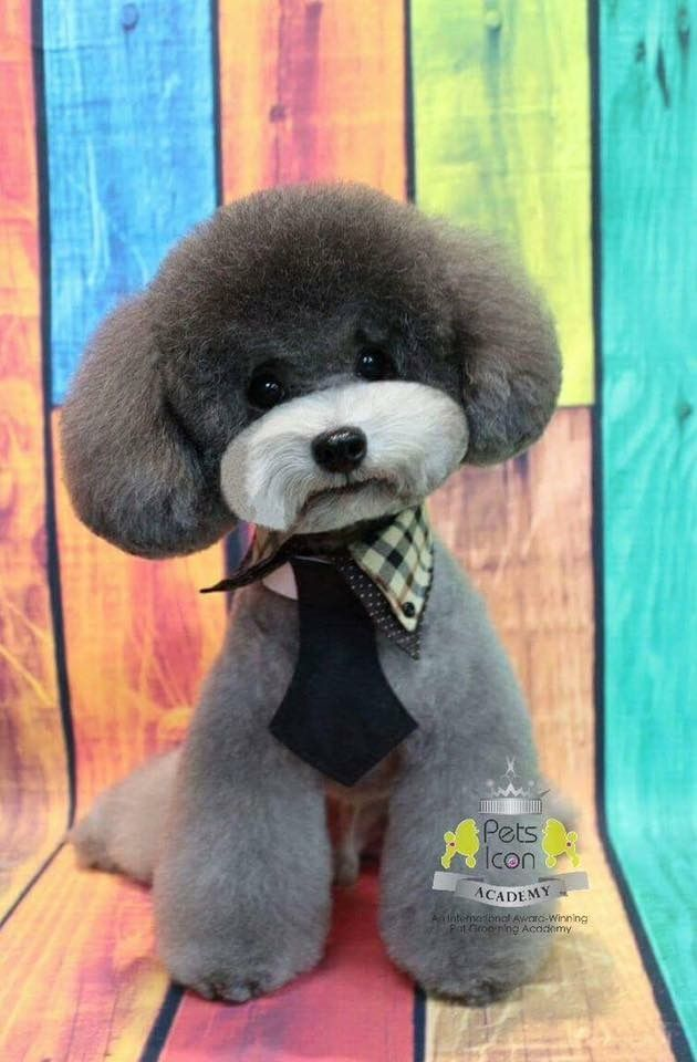 Pin By The Blissful Dog On Dog Grooming Poodle Haircut Poodle Dog Grooming Styles