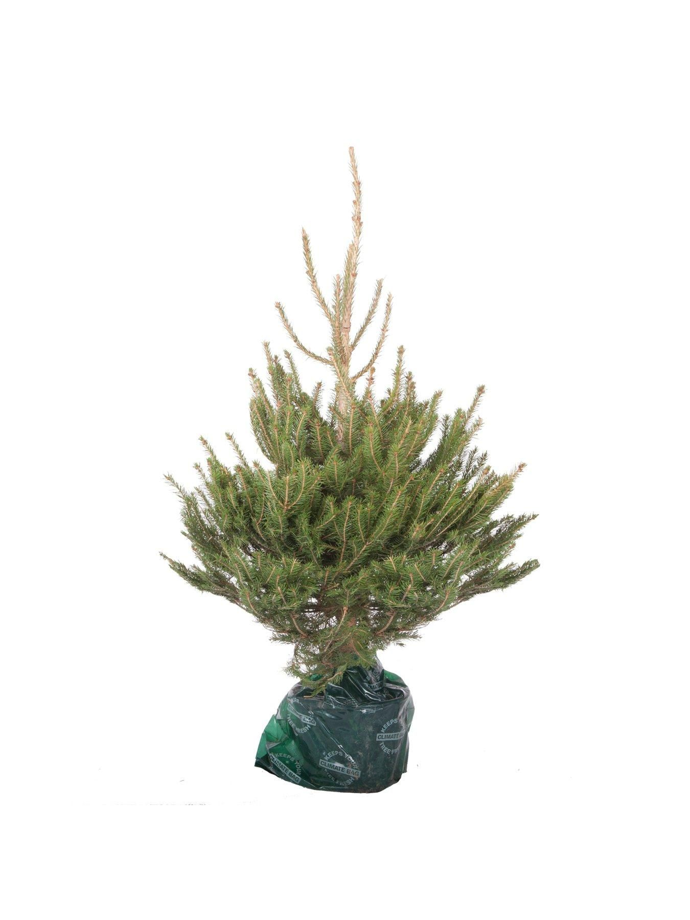 Living Norway Spruce Christmas tree in a pot 80-100cm over pot   Potted christmas trees, Spruce ...