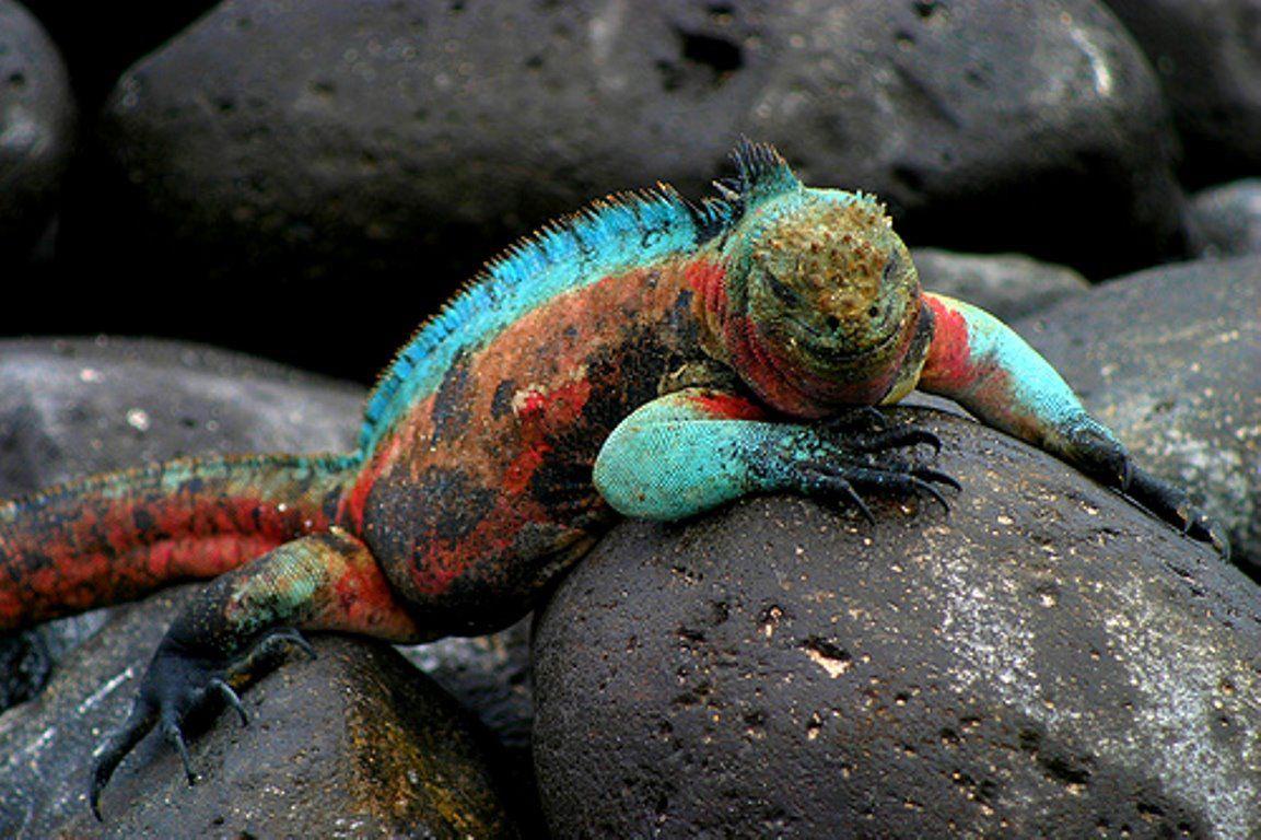 marine #iguana. #galapagos #ecuador #lizard #reptile