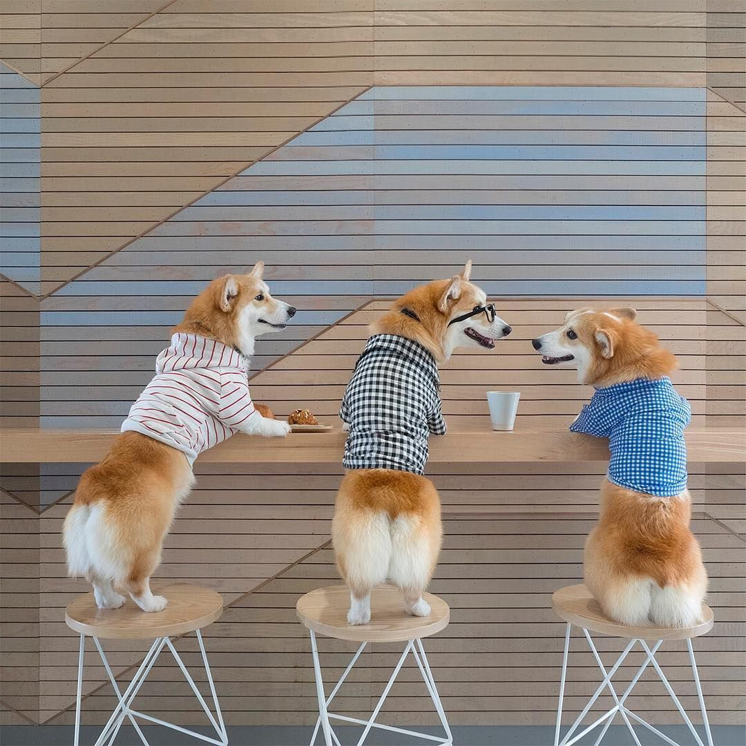 Pin by cristina pereira on puppies pinterest corgis corgi and dog