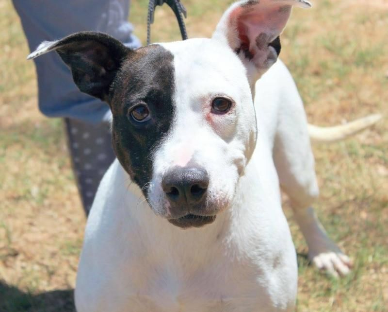 Mia is an adoptable American Bulldog searching for a