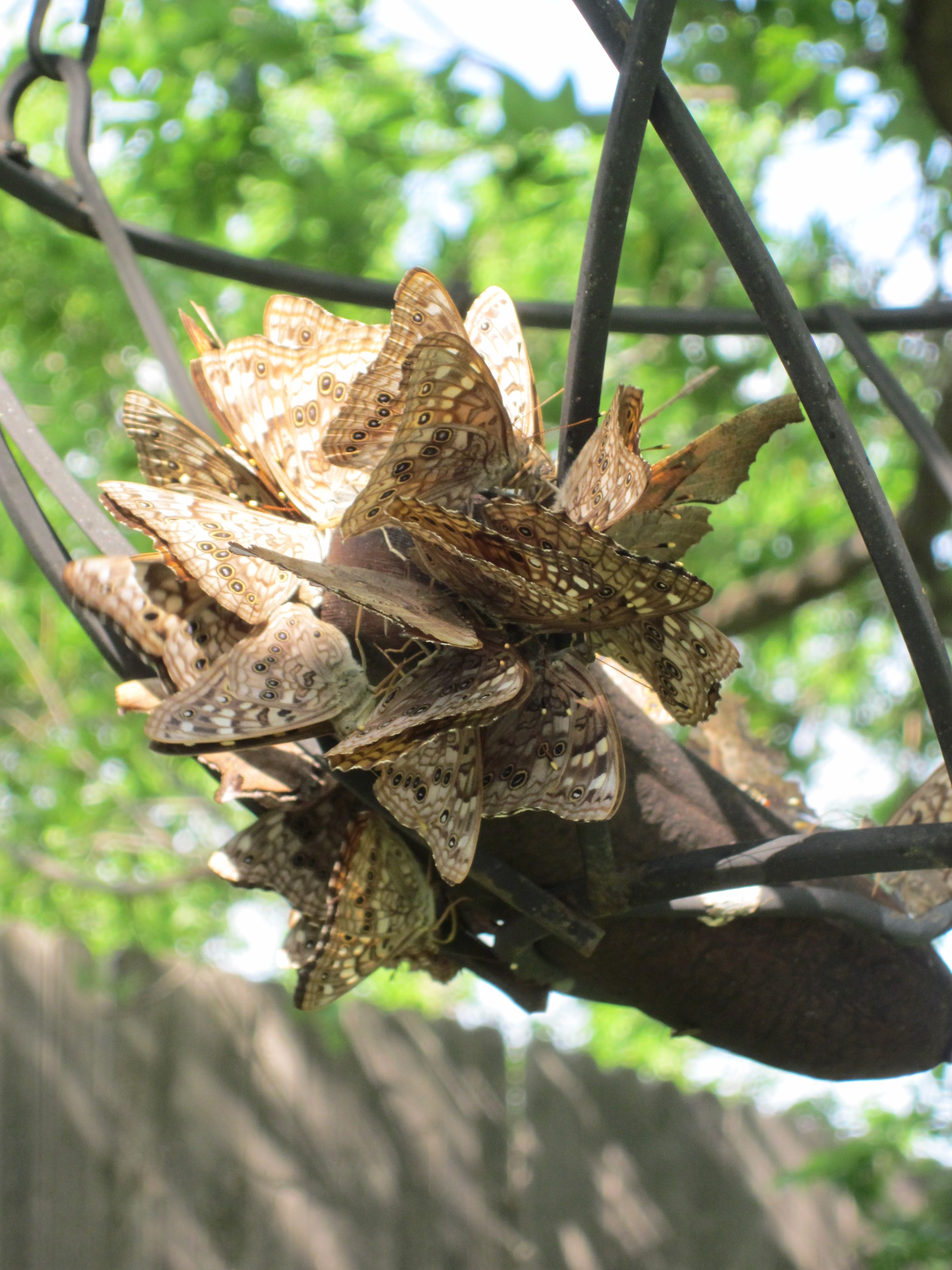 How to attract butterflies to your yard: hang up a rotten ...
