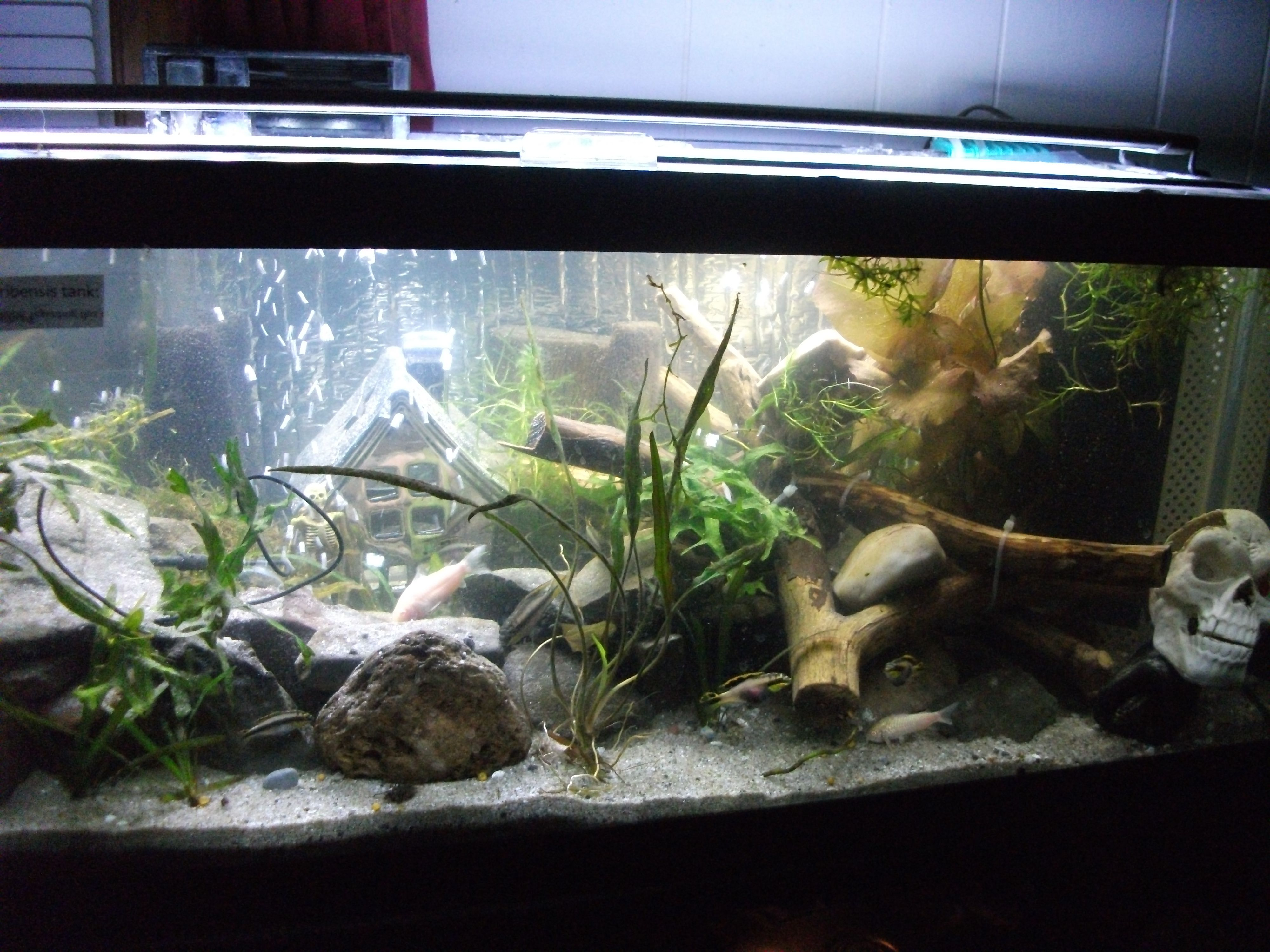 My 20 gallon long Kribensis tank with Matten corner filter and Kribs