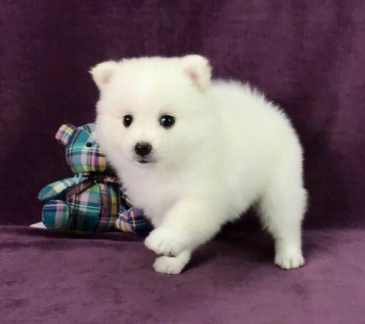 Japanese Spitz Puppy For Sale In Los Angeles Ca Usa Adn 91949 On Puppyfinder Com Gender Female Age 14 Wee Japanese Spitz Puppy Spitz Puppy Japanese Spitz
