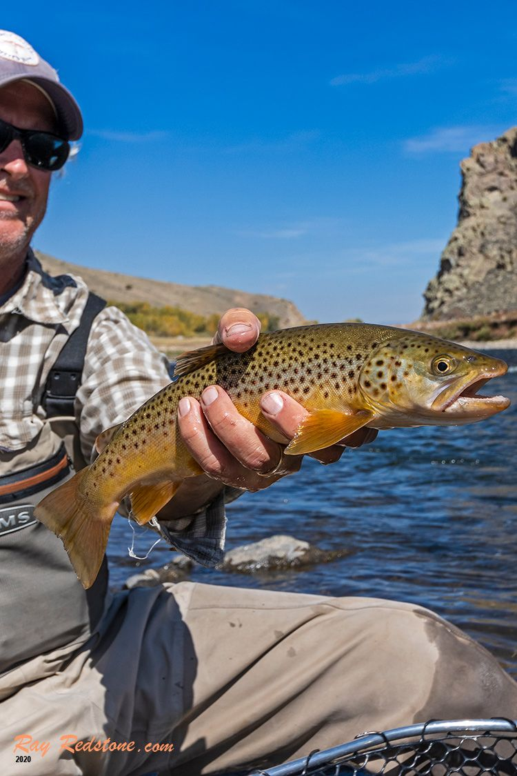 Wild Brown Trout Caught Released Fly Fishing Fly Fishing Brown Trout Fish
