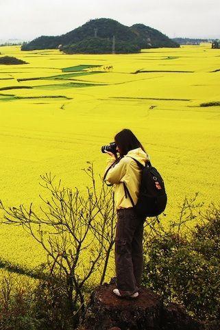Цветочные Поля Канола, Юньнань, Китай