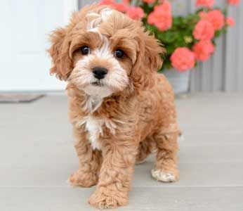 Ryder the Toy Cavapoo Adopted by Betsey from Durham, NC